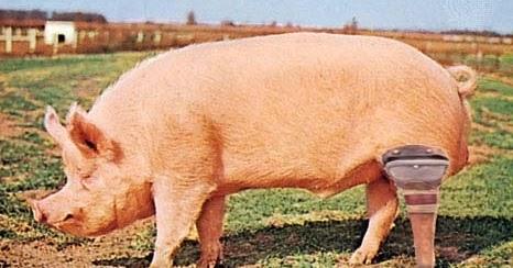 pig_leg[3]